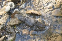 Platypus swimming in a creek Royalty Free Stock Photos