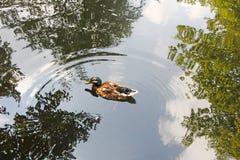 Platyrhynchos Anas дикой утки плавая в пруде thr Стоковое Фото