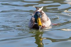 Platyrhynchos Anas кряквы дикой утки Мыжская утка Стоковое Изображение RF