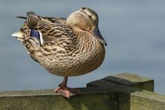Platyrhynchos assez femelles de Mallard Duck Anas étant perché sur une barrière en bois se tenant sur une jambe Image stock