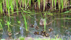 Platyrhynchos d'ana de famille de canard sauvage sur le lac banque de vidéos