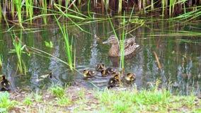 Platyrhynchos d'ana de famille de canard sauvage sur le lac clips vidéos