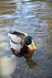 Platyrhynchos d'ana, Mallard, natation masculine de canard dans l'eau Photographie stock