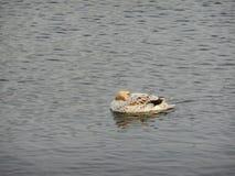 Platyrhynchos de las anecdotarios del pato del pato silvestre, llevados de un albino foto de archivo