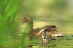 Platyrhynchos di anas E Uccello su acqua r Immagini Stock