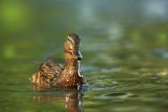 Platyrhynchos di anas E Uccello su acqua r Fotografia Stock Libera da Diritti