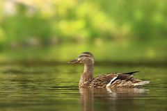 Platyrhynchos di anas E Uccello su acqua r Fotografia Stock