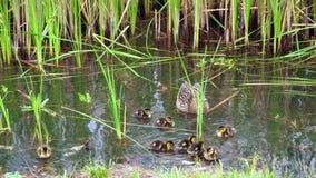 Platyrhynchos dos Anas da família do pato selvagem no lago vídeos de arquivo