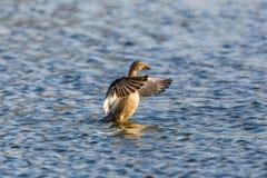 Platyrhynchos fêmeas dos anas do pato do pato selvagem com asas abertas Fotos de Stock Royalty Free