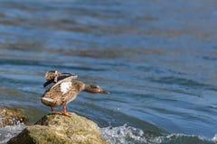 Platyrhynchos fêmeas dos anas do pato do pato selvagem que estão na rocha no riv Imagem de Stock