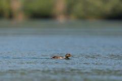 Platyrhynchos fêmeas dos anas do pato do pato selvagem que nadam Foto de Stock