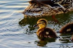 Platyrhynchos jovenes de las anecdotarios del pato silvestre que nadan en luz del sol Fotografía de archivo libre de regalías