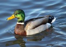 Platyrhynchos masculinos de las anecdotarios del pato del pato silvestre Fotos de archivo libres de regalías