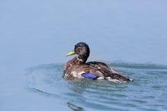 Platyrhynchos masculinos dos anas do pato do pato selvagem do retrato que nadam Fotos de Stock