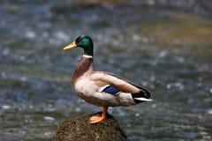 Platyrhynchos masculinos dos Anas do pato selvagem que estão em uma pedra Imagens de Stock Royalty Free