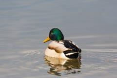 Platyrhynchos masculinos naturais dos Anas do pato do pato selvagem que nadam Fotos de Stock