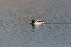 Platyrhynchos masculinos naturais dos Anas do pato do pato selvagem que nadam Imagem de Stock