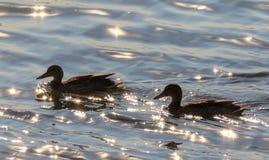 Platyrhynchospaar van wilde eendana tegen kalm water Royalty-vrije Stock Fotografie