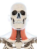 The platysma muscle Stock Photography
