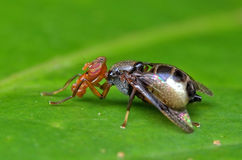 Platystomidae Royaltyfria Foton
