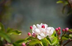 Platz für Ihren Text Blühen, blühender Baumast, natürlicher undeutlicher Hintergrund Rosa und weiße Blumen, Knospen frühjahr C Lizenzfreie Stockfotos