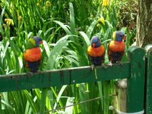 Plaudernde Vögel lizenzfreies stockfoto
