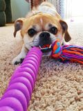Small dog with toy. Playful small dog tug of war royalty free stock photography
