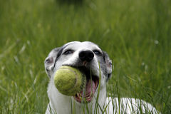 Play. Sweet doggy playing with a tennis ball in the grass Royalty Free Stock Images