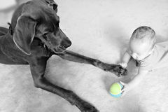 Play Ball Baby. Baby Boy and great Dane Playing Ball Stock Image