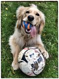 Play ball?. A golden puppy is ready to Stock Photo
