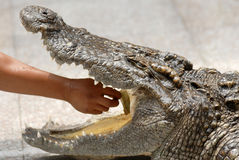 Play with crocodile Stock Photos