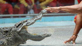 Play with crocodile Stock Image