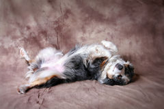 Play Dead. Australian Shepherd, playing dead, laying on back royalty free stock image