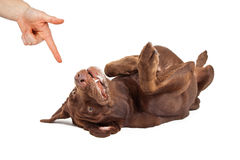 Play Dead Command For Dog Training. Human hand giving a command for a play dead trick to a chocolate labrador retriever dog laying on its back Stock Image