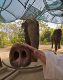 Play with elephant. Wide angle shot of a hand stroke elephant trunk royalty free stock photos