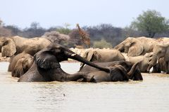 Play Elephant at the waterhole - Namibia africa stock images