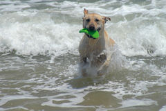 Play fetch. Playing dog in the water stock images
