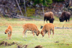 Play Fighting. Bison calves play fighting, Yellowstone National Park Royalty Free Stock Images