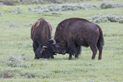Play fighting bull buffalos. Two bull buffalos play fighting in springtime Royalty Free Stock Photography