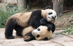 Play Fighting Pandas Stock Photos