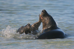 Play-fighting seals. Young grey seals play fighting on a breeding beach in Scotland, UK Stock Images