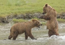 Play Fighting in the Water. Coastal Brown Bear cubs play fighting in a stream, Silver Salmon Creek, Lake Clark National Park and Preserve, Alaska Royalty Free Stock Photos
