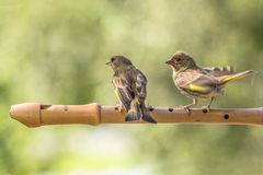 Play the flute. Green finches standing on a flute Royalty Free Stock Image