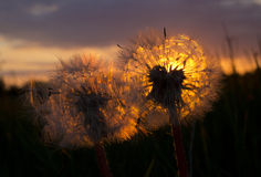 Play of light in the dandelion Stock Image