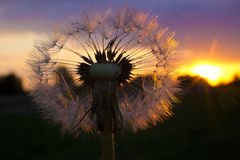 Play of light in the dandelion. Royalty Free Stock Images