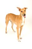 Play with me!!. A tan greyhound standing against a white background stock images