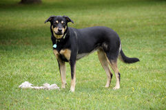 Play with me?. A mixbreed large dog waiting for someone to come along and play fetch with her stock photography