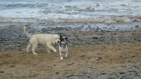 At play with my friend. Two dogs playing on the beach Royalty Free Stock Image