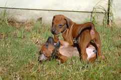 play puppy Στοκ Φωτογραφίες