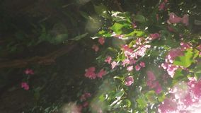 Play of the sun through fresh green leaves and pink flowers with beautiful lens flare effects. slow motion. 1920x1080. Hd stock video footage